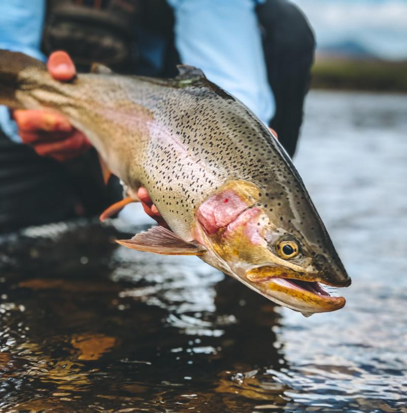Large Rainbow Trout being held above the water